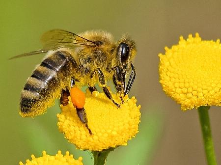 L'allevamento di api non rientra tra le industrie ...