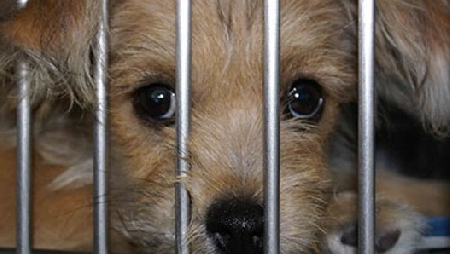Trasportare 41 cani stipati a bordo di un furgone ...