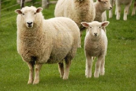 Sottrae un agnello dall'ovile di un pastore, colpi...